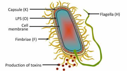 K Antigen Bacteria Pathogenic E. coli - E...